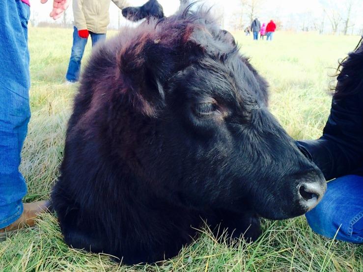 cowfrand