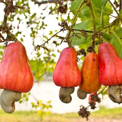 Cashew-apple-on-tree.jpg